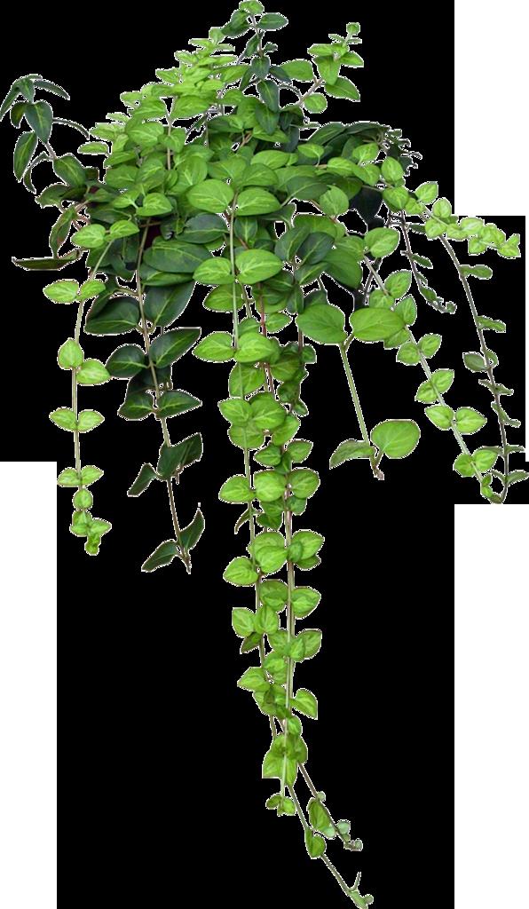 traffic ivy plant image
