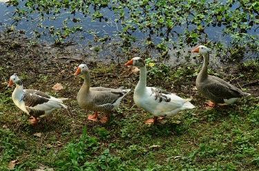 geese leadership image