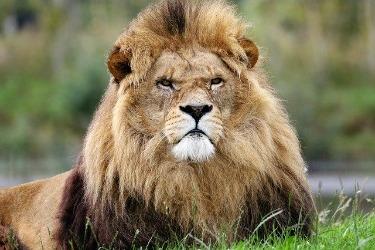 lion leadership image